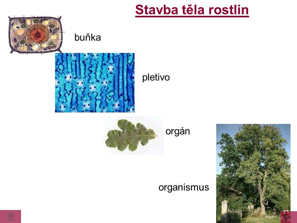 Stavba těla rostlin organismus orgán buňka pletivo