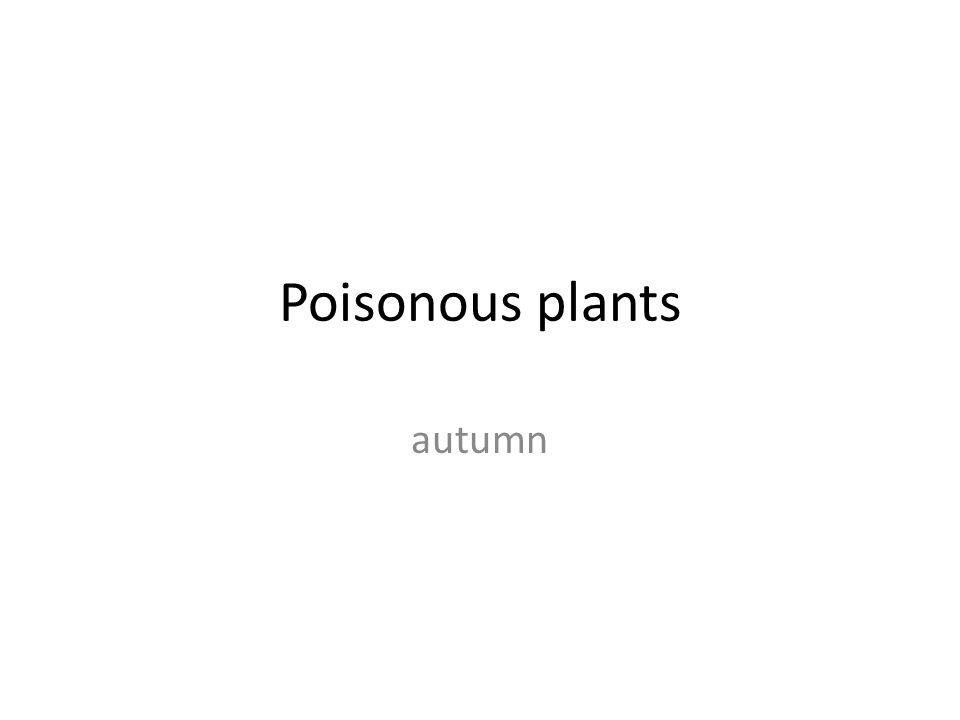 Viburnum – pic.1