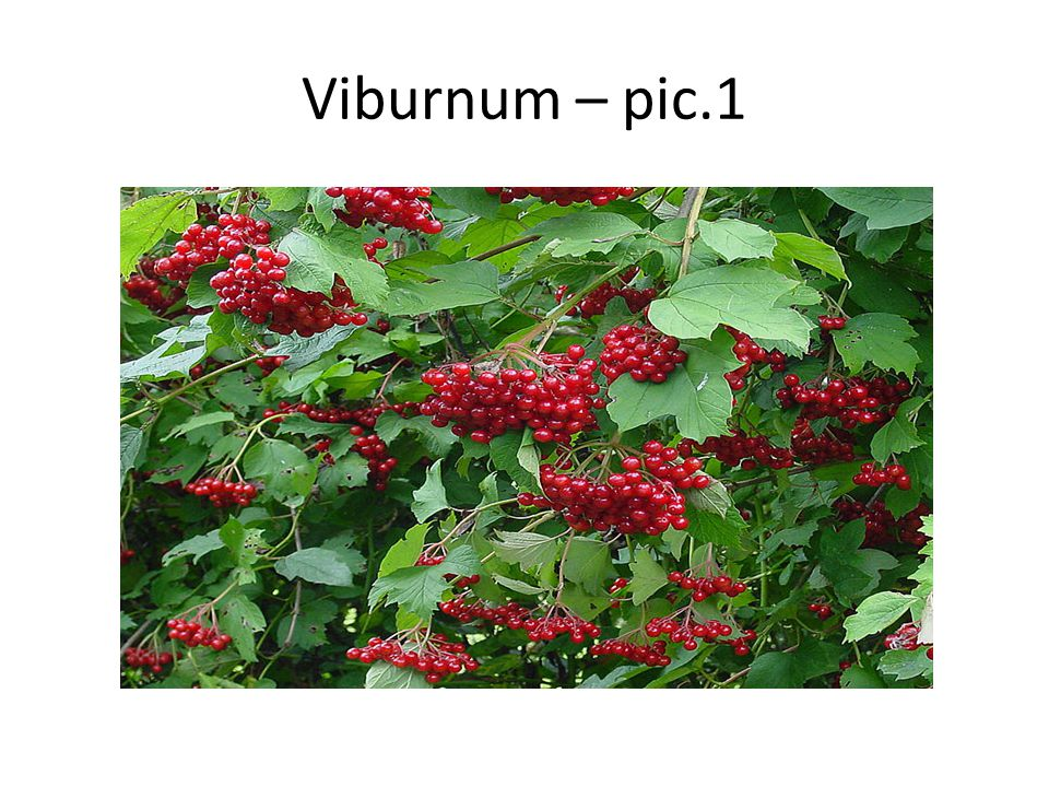 Viburnum Viburnum is a genus of about 150–175 species of shrubs or small trees in the moschatel family, Adoxaceae.