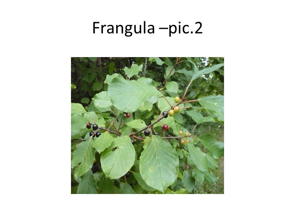 Frangula Rhamnus frangula, (Frangula alnus), the Alder Buckthorn, is a tall in the family Rhamnaceae.