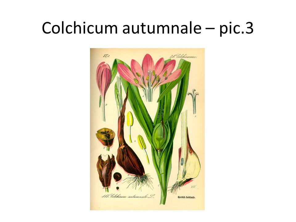 Colchicum autumnale – pic.3