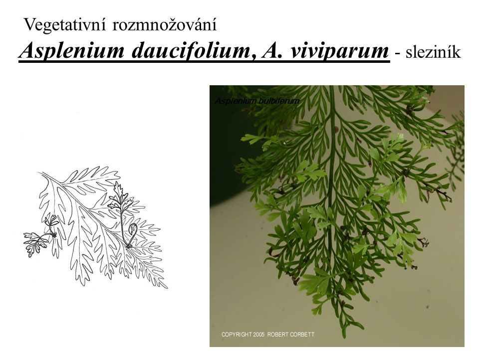 Vegetativní rozmnožování Asplenium daucifolium, A. viviparum - sleziník Asplenium bulbiferum
