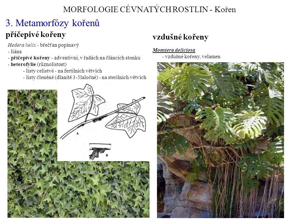 MORFOLOGIE CÉVNATÝCH ROSTLIN - Kořen 3. Metamorfózy kořenů Hedera helix - břečťan popínavý - liána - příčepivé kořeny - adventivní, v řadách na článcí