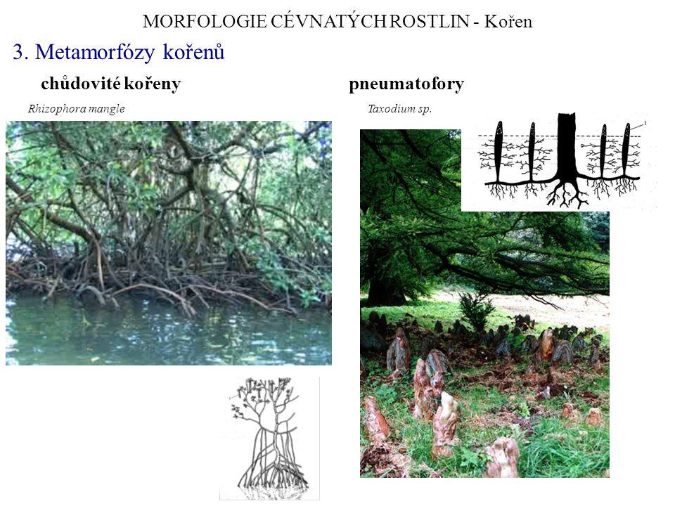 MORFOLOGIE CÉVNATÝCH ROSTLIN - Kořen 3. Metamorfózy kořenů chůdovité kořeny pneumatofory Rhizophora mangle Taxodium sp.