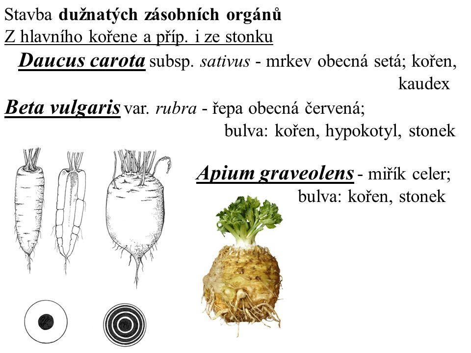 Stavba dužnatých zásobních orgánů Z hlavního kořene a příp. i ze stonku Daucus carota subsp. sativus - mrkev obecná setá; kořen, kaudex Beta vulgaris