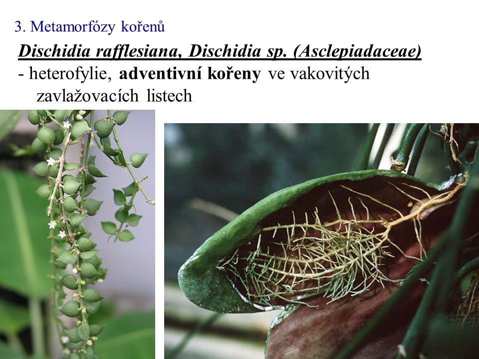 Dischidia rafflesiana, Dischidia sp. (Asclepiadaceae) - heterofylie, adventivní kořeny ve vakovitých zavlažovacích listech 3. Metamorfózy kořenů