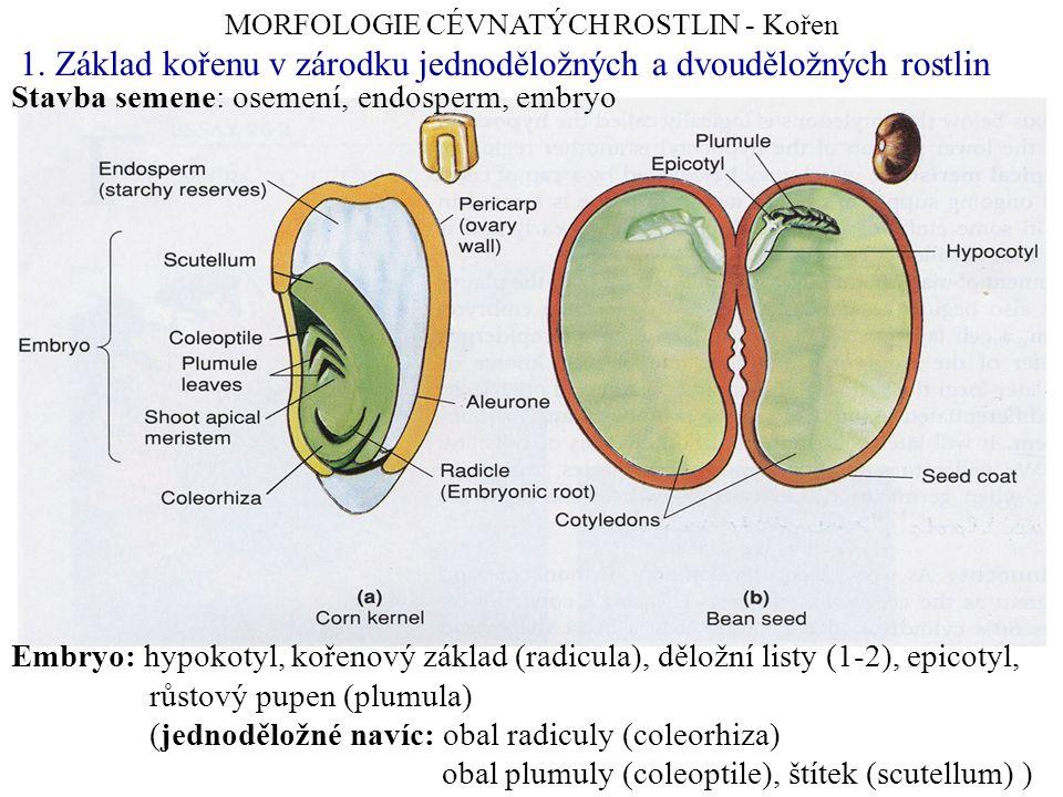 MORFOLOGIE CÉVNATÝCH ROSTLIN - Kořen Embryo: hypokotyl, kořenový základ (radicula), děložní listy (1-2), epicotyl, růstový pupen (plumula) (jednodělož