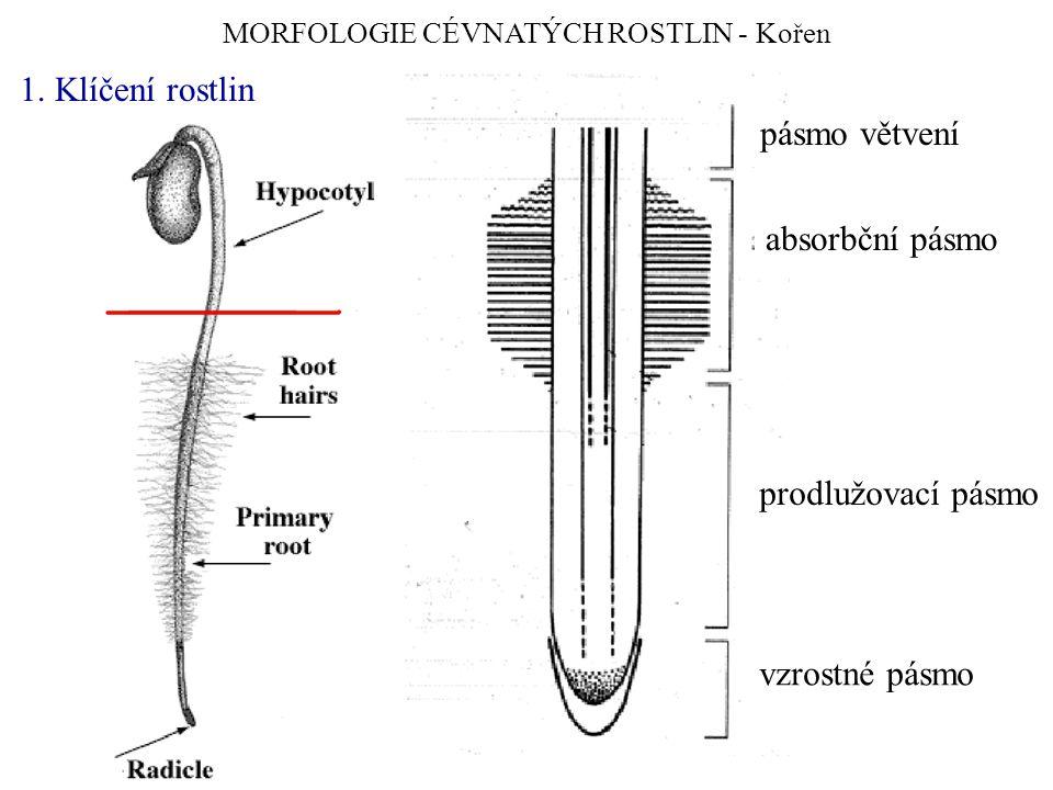 MORFOLOGIE CÉVNATÝCH ROSTLIN - Kořen 1. Klíčení rostlin vzrostné pásmo prodlužovací pásmo absorbční pásmo pásmo větvení