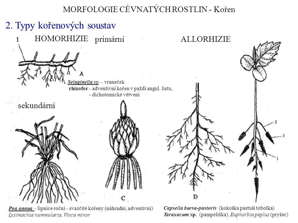 MORFOLOGIE CÉVNATÝCH ROSTLIN - Kořen 2. Typy kořenových soustav HOMORHIZIE ALLORHIZIEprimární sekundární Capsella bursa-pastoris (kokoška pastuší tobo