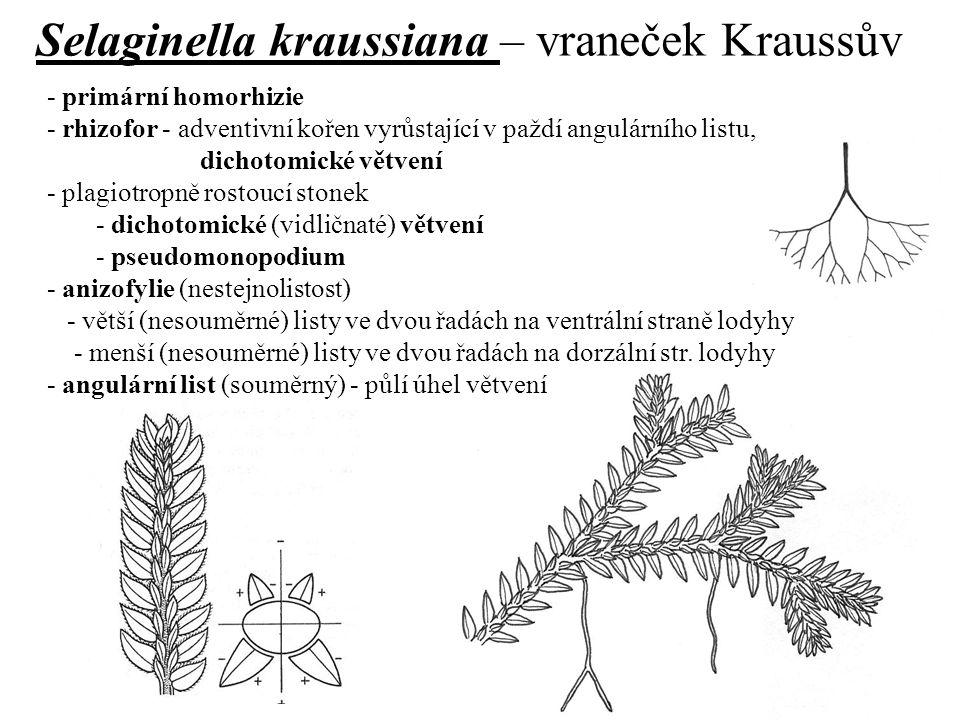 Selaginella kraussiana – vraneček Kraussův - primární homorhizie - rhizofor - adventivní kořen vyrůstající v paždí angulárního listu, dichotomické vět