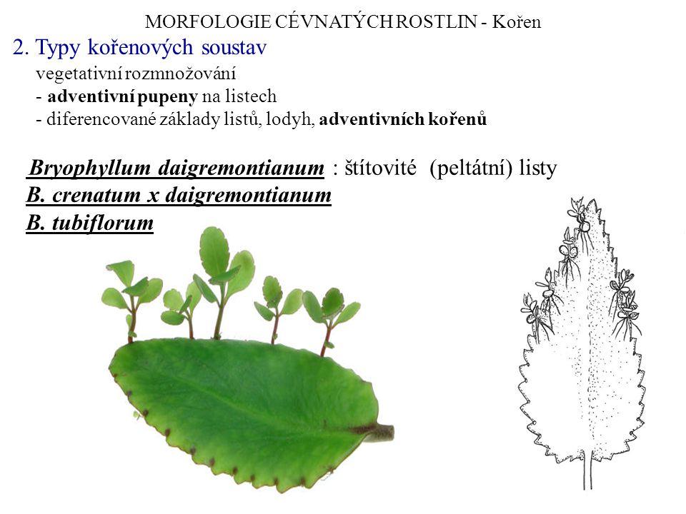 MORFOLOGIE CÉVNATÝCH ROSTLIN - Kořen 2. Typy kořenových soustav vegetativní rozmnožování - adventivní pupeny na listech - diferencované základy listů,