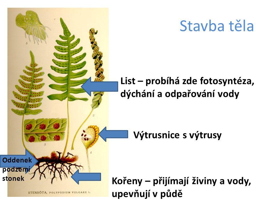 Stavba těla Kořeny – přijímají živiny a vody, upevňují v půdě Oddenek podzemí stonek List – probíhá zde fotosyntéza, dýchání a odpařování vody Výtrusn