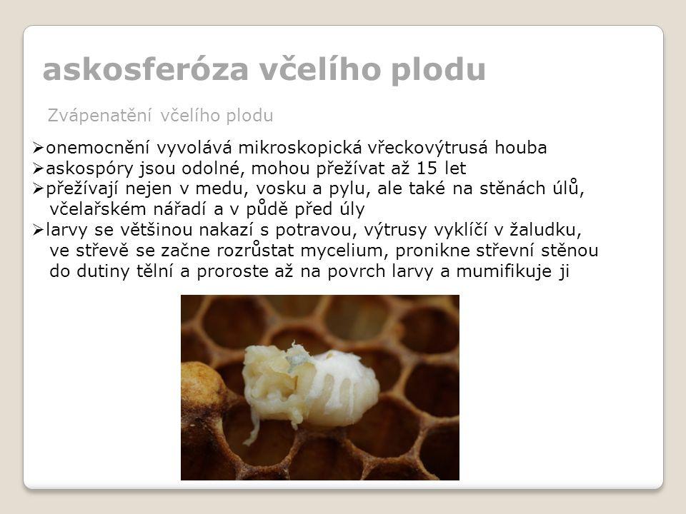 askosferóza včelího plodu Zvápenatění včelího plodu  onemocnění vyvolává mikroskopická vřeckovýtrusá houba  askospóry jsou odolné, mohou přežívat až