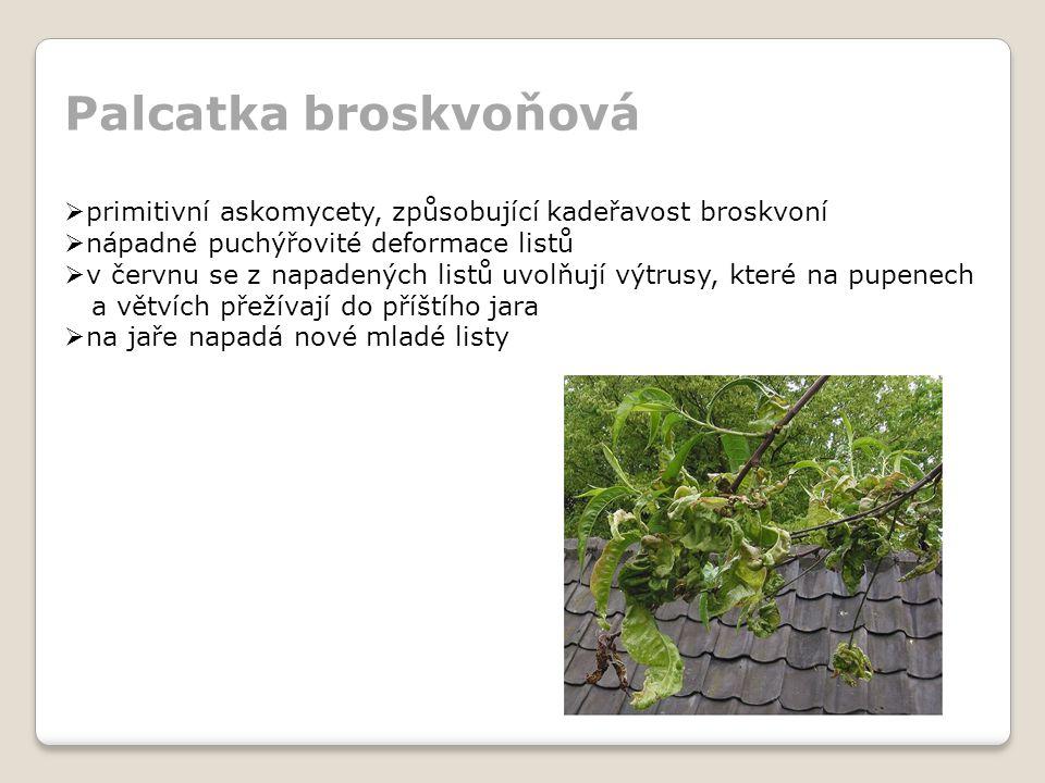 Palcatka broskvoňová  primitivní askomycety, způsobující kadeřavost broskvoní  nápadné puchýřovité deformace listů  v červnu se z napadených listů