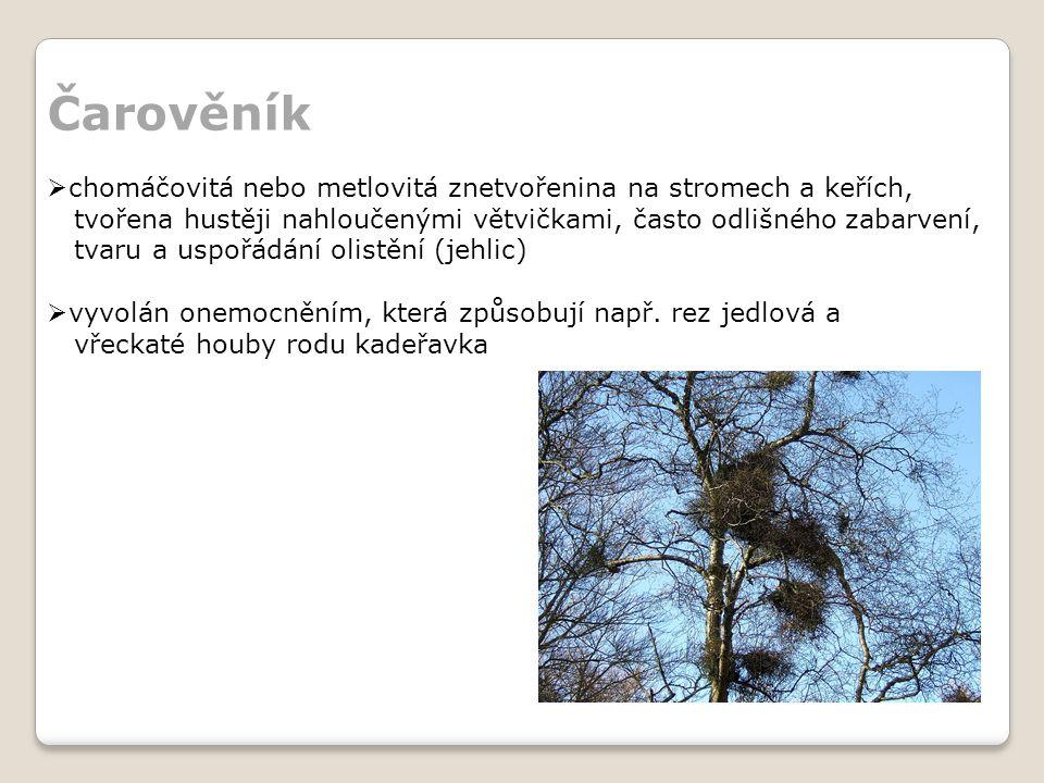 Čarověník  chomáčovitá nebo metlovitá znetvořenina na stromech a keřích, tvořena hustěji nahloučenými větvičkami, často odlišného zabarvení, tvaru a