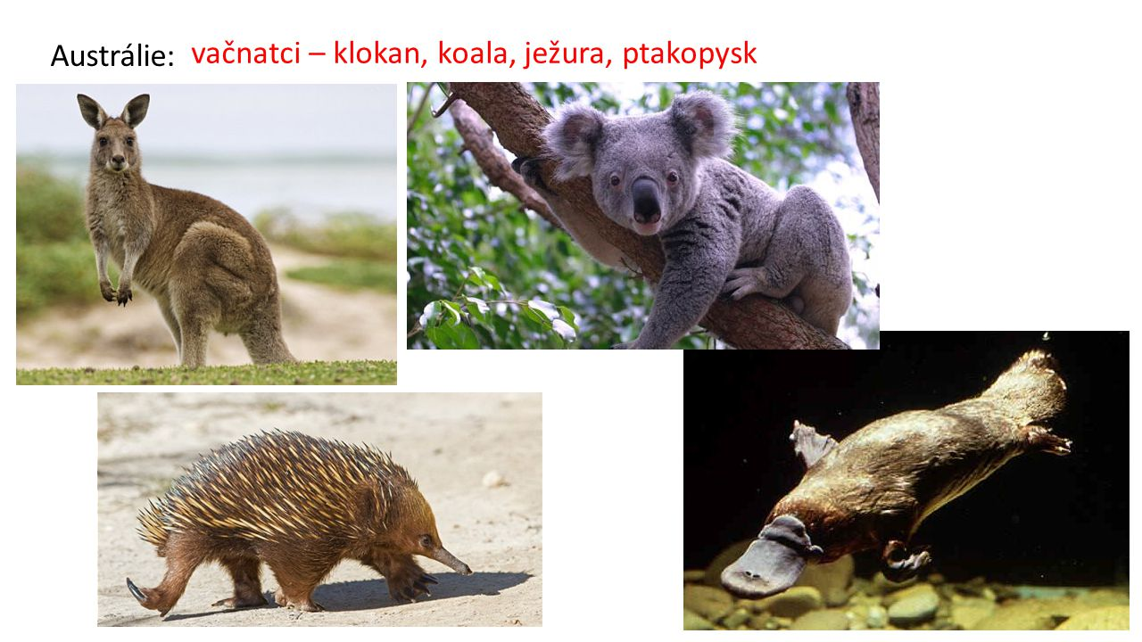 Austrálie: vačnatci – klokan, koala, ježura, ptakopysk
