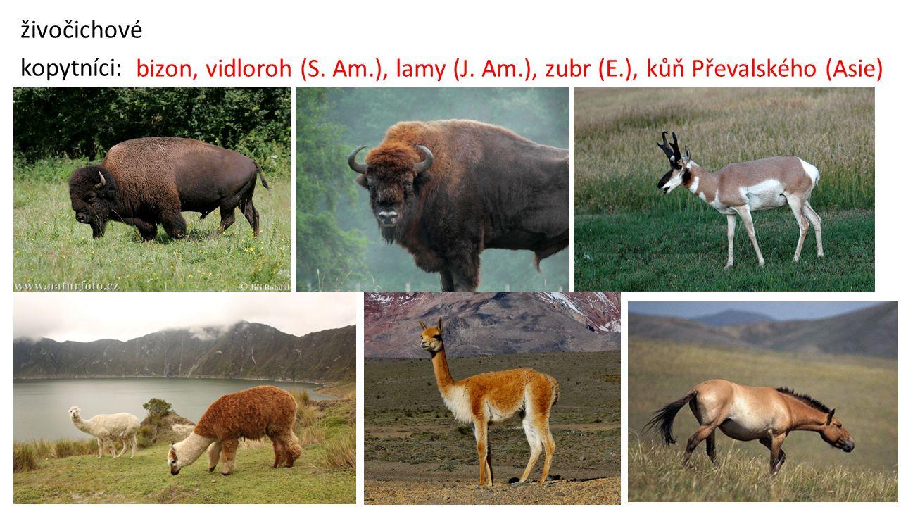 živočichové kopytníci: bizon, vidloroh (S. Am.), lamy (J. Am.), zubr (E.), kůň Převalského (Asie)