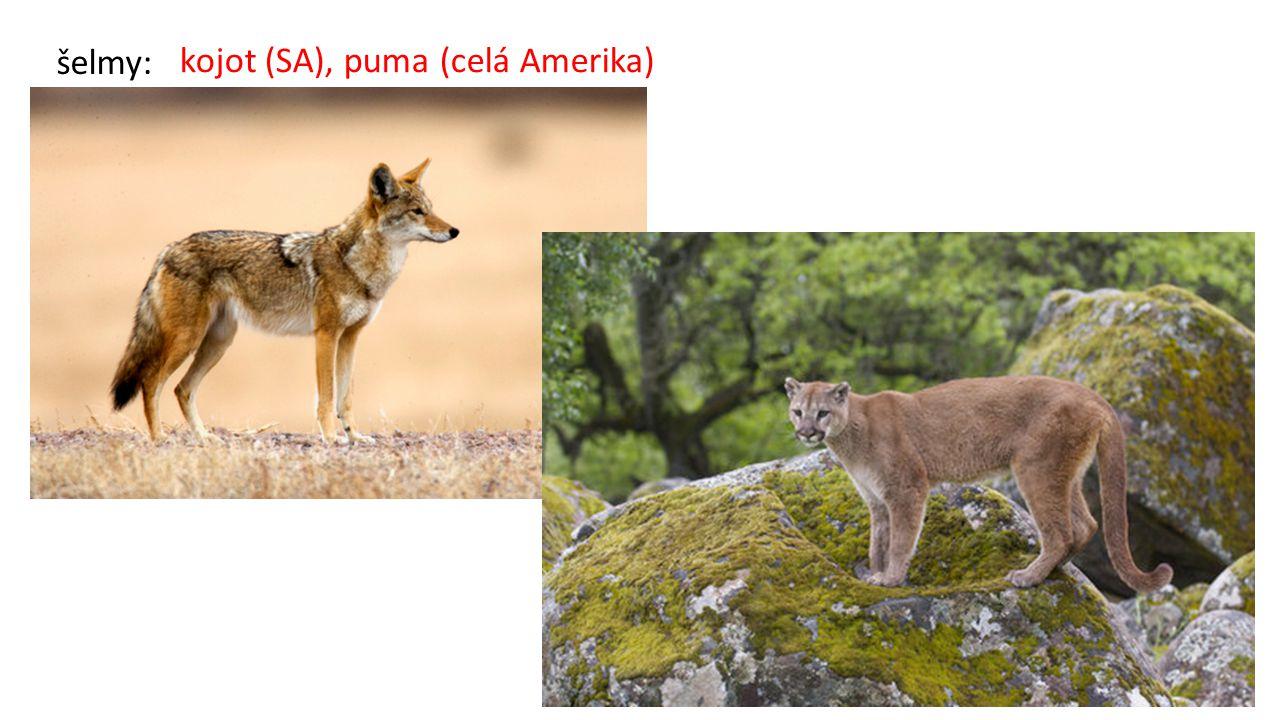 šelmy: kojot (SA), puma (celá Amerika)
