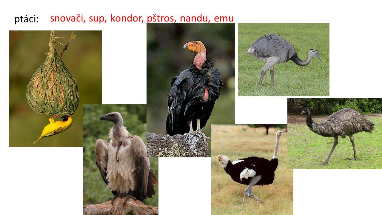 snovači, sup, kondor, pštros, nandu, emu ptáci: