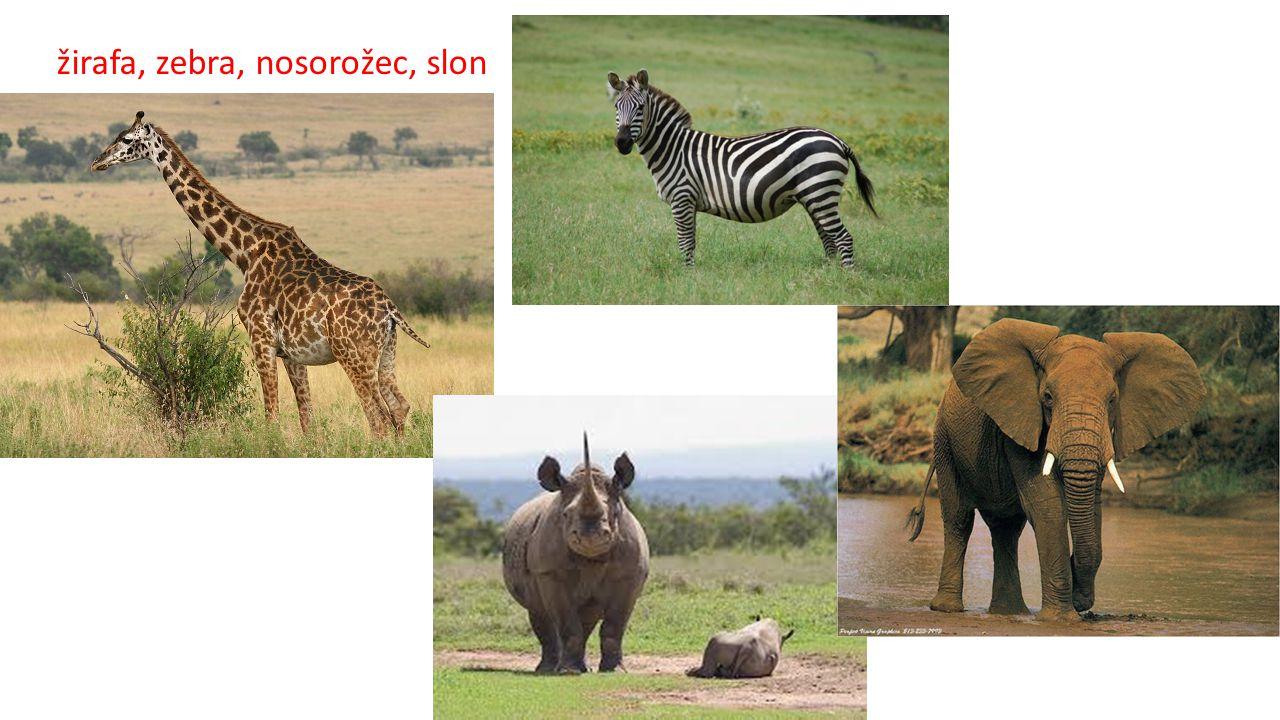 žirafa, zebra, nosorožec, slon