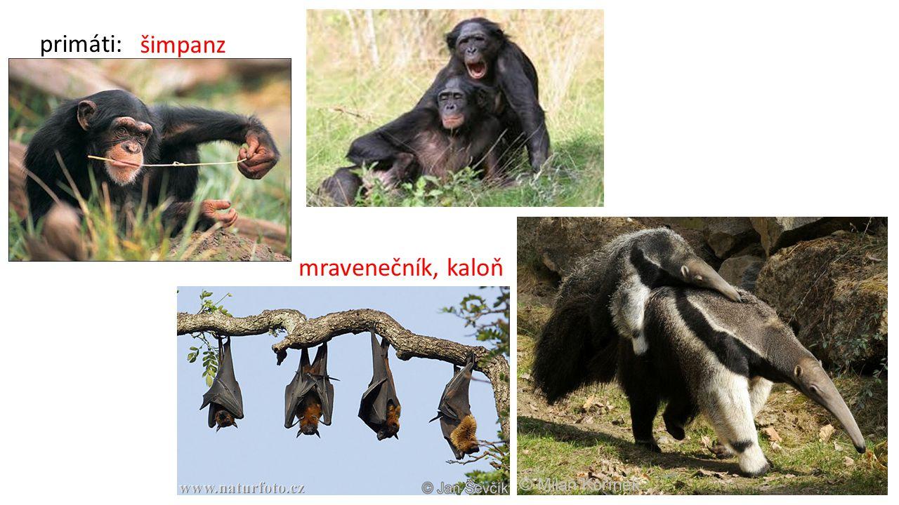 primáti: šimpanz mravenečník, kaloň