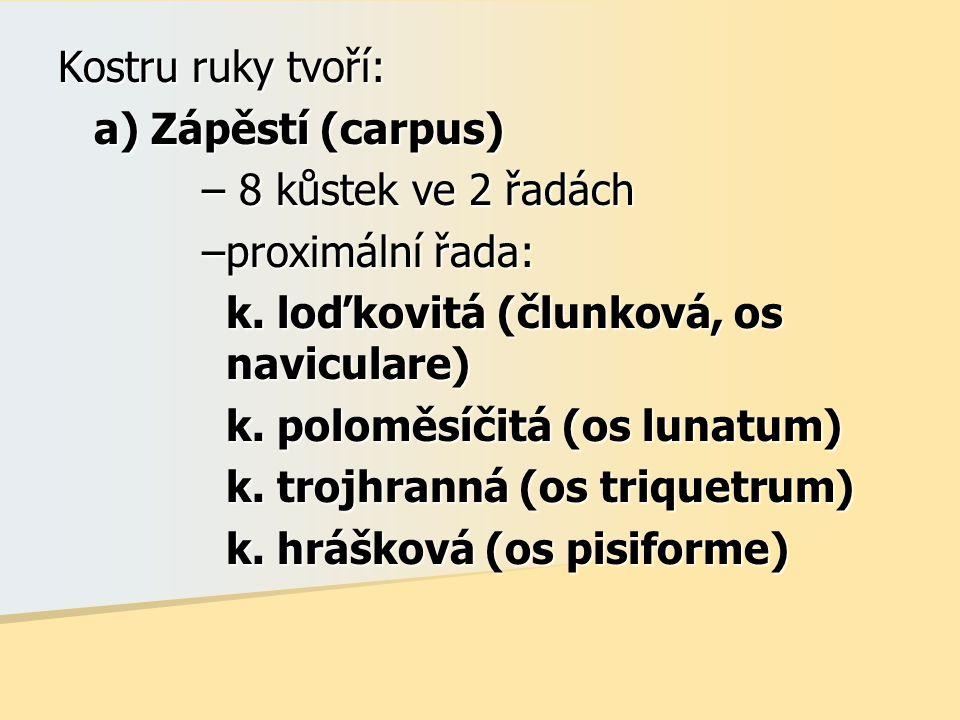 Kostru ruky tvoří: a) Zápěstí (carpus) – 8 kůstek ve 2 řadách –proximální řada: k. loďkovitá (člunková, os naviculare) k. poloměsíčitá (os lunatum) k.