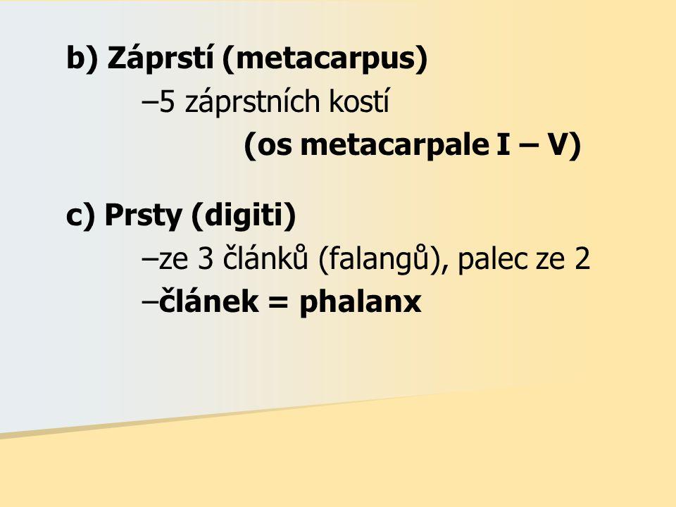 b) Záprstí (metacarpus) –5 záprstních kostí (os metacarpale I – V) c) Prsty (digiti) –ze 3 článků (falangů), palec ze 2 –článek = phalanx