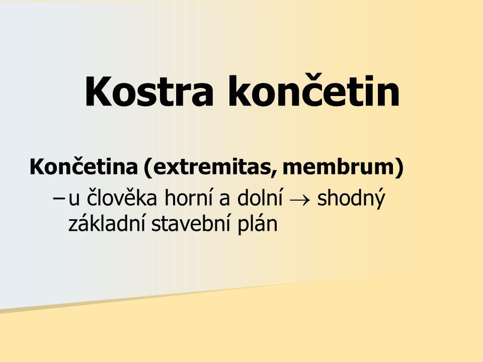 Kostra končetin Končetina (extremitas, membrum) –u člověka horní a dolní  shodný základní stavební plán