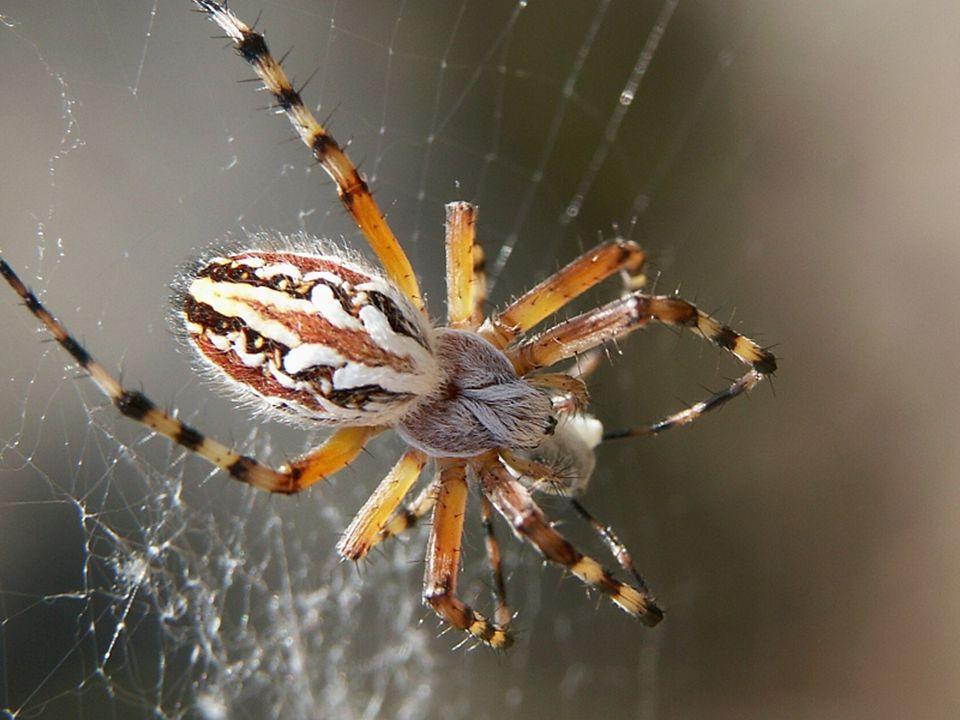 Pavouci Pavouci podobně jako hmyz, mají článkované nohy a těla, která jsou tvořena z několika částí. Ale na rozdíl od hmyzu se jejich těla neskládají