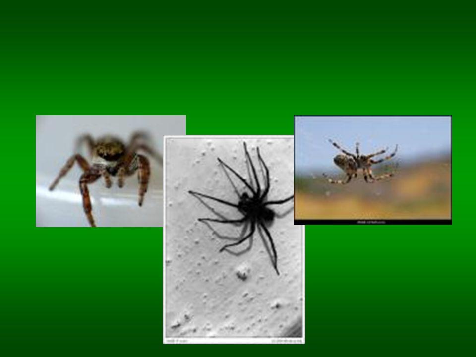 Ne všichni pavouci si tkají pavučiny. Slíďák má větší oči než druhy tvořící pavučiny a spoléhá se pouze na svůj zrak a rychlost, když chce kořist přel