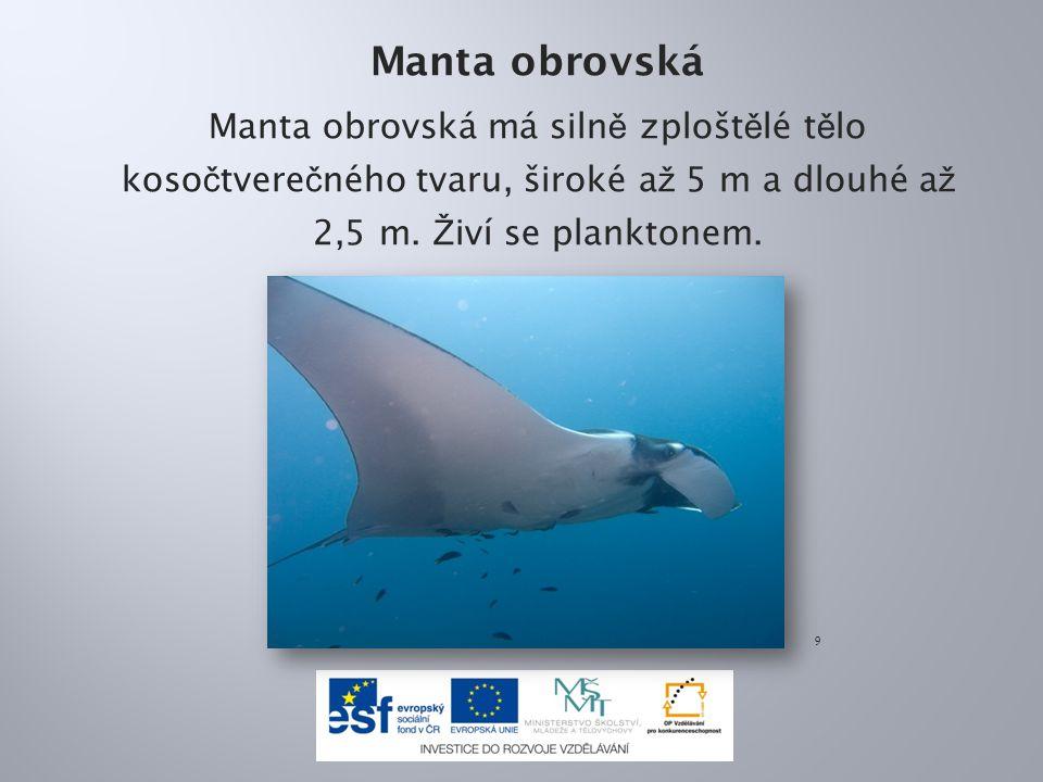 Manta obrovská Manta obrovská má siln ě zplošt ě lé t ě lo koso č tvere č ného tvaru, široké a ž 5 m a dlouhé a ž 2,5 m. Ž iví se planktonem. 9