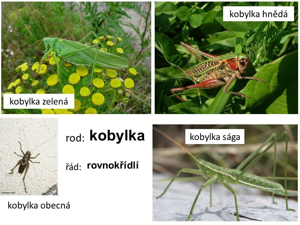 kobylka zelená kobylka hnědá kobylka sága kobylka obecná rod: kobylka řád: rovnokřídlí