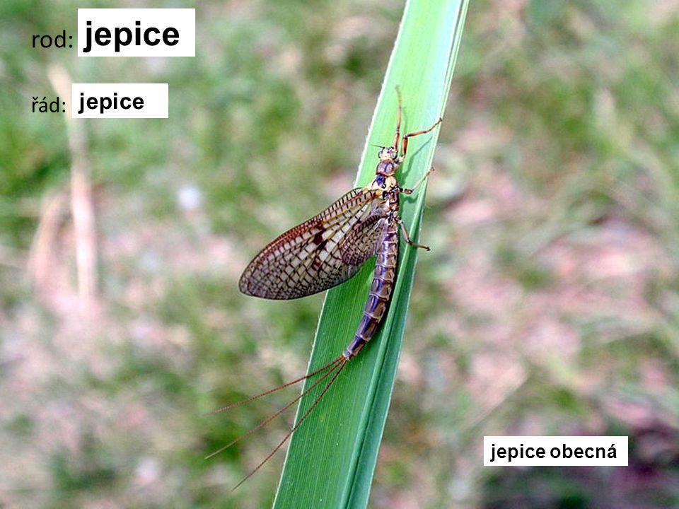 vážka ploská rod: vážka řád: vážky