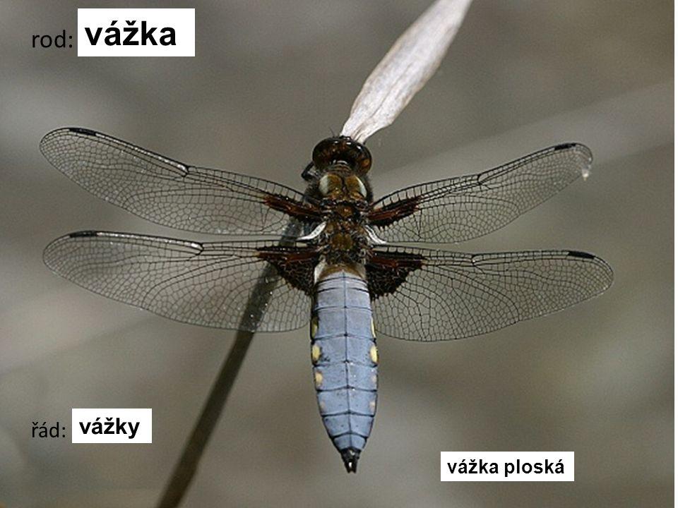 šídlo červené šídlo královské šídlo modré šídlo pestré rod: šídlo řád: vážky