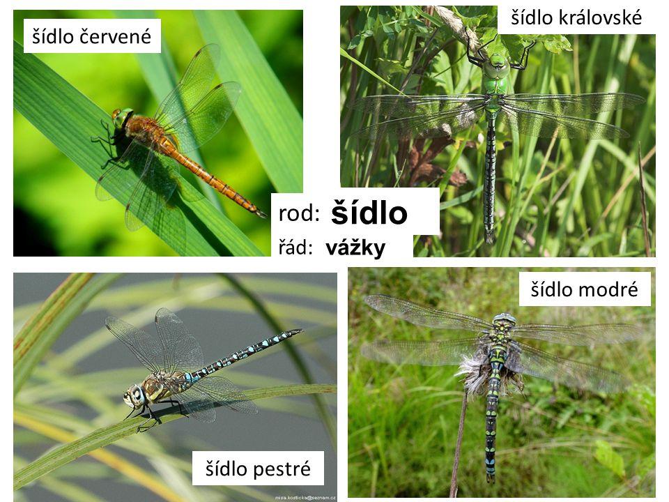 motýlice lesklá rod: motýlice řád: vážky