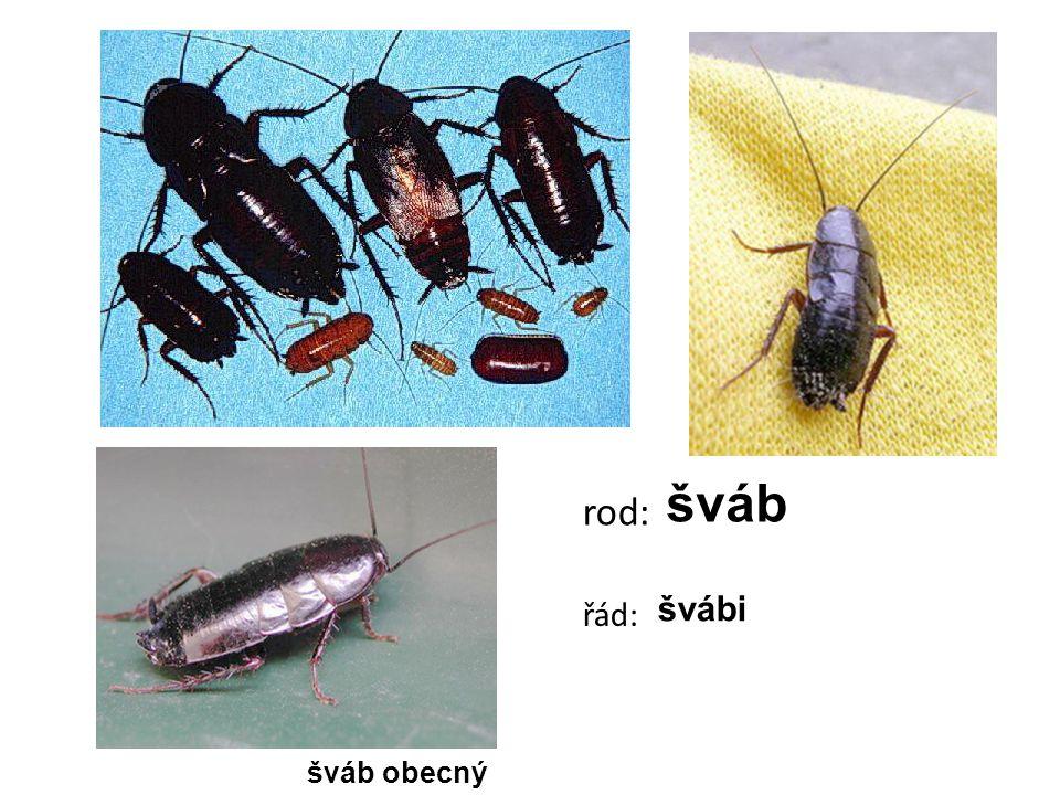šváb obecný rod: šváb řád: švábi