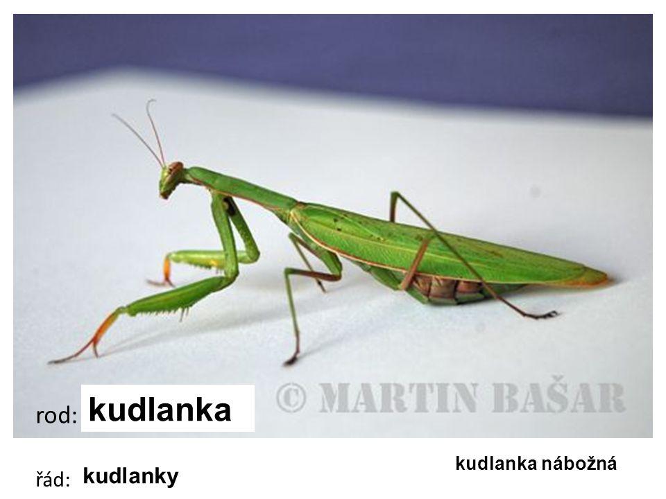 cvrček polní cvrček domácí cvrček polní rod: cvrček řád: rovnokřídlí