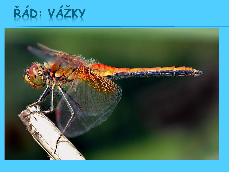  Proměna nedokonalá: VAJÍČKO → LARVA → DOSPĚLEC Z vajíčka se líhne larva, která je označována jako nymfa. Postupným svlékáním a dorůstáním se vyvíjí