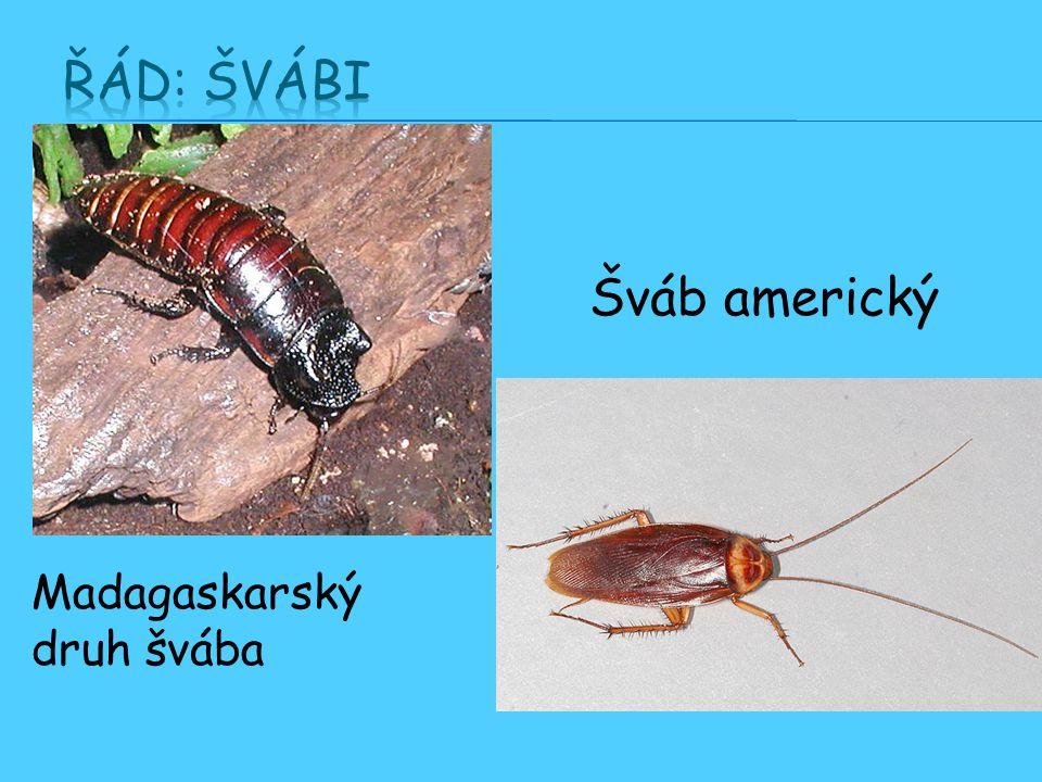 Madagaskarský druh švába Šváb americký