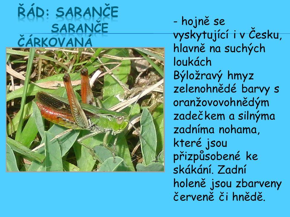 - hojně se vyskytující i v Česku, hlavně na suchých loukách Býložravý hmyz zelenohnědé barvy s oranžovovohnědým zadečkem a silnýma zadníma nohama, které jsou přizpůsobené ke skákání.