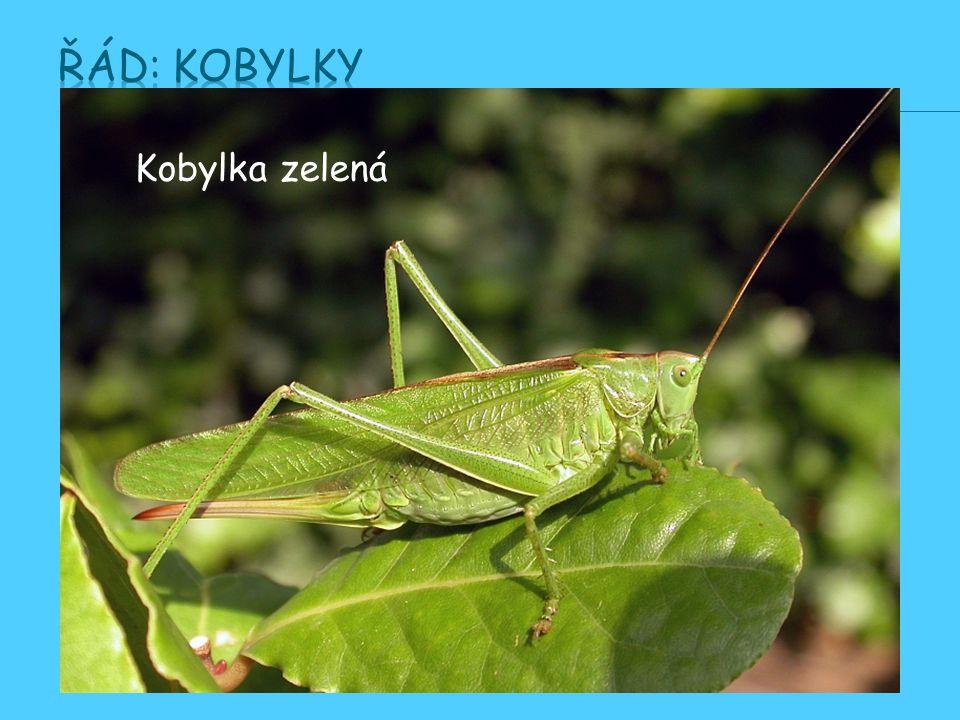 - hojně se vyskytující i v Česku, hlavně na suchých loukách Býložravý hmyz zelenohnědé barvy s oranžovovohnědým zadečkem a silnýma zadníma nohama, kte