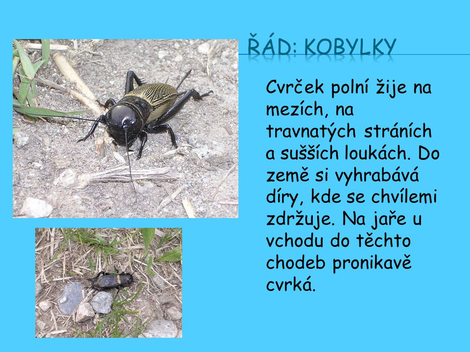 Cvrček polní žije na mezích, na travnatých stráních a sušších loukách.