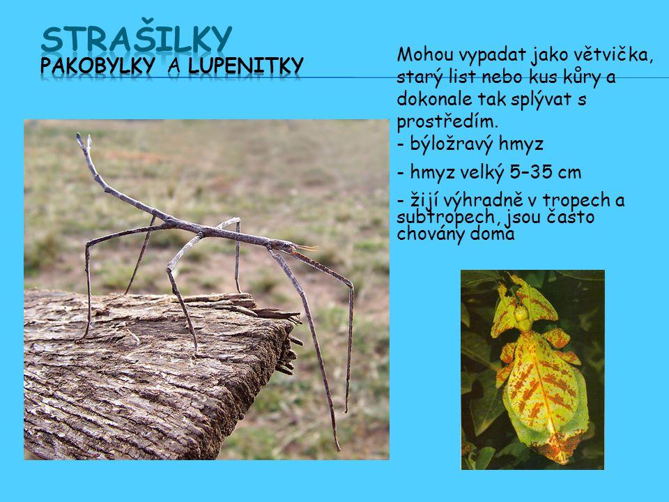 Mohou vypadat jako větvička, starý list nebo kus kůry a dokonale tak splývat s prostředím.