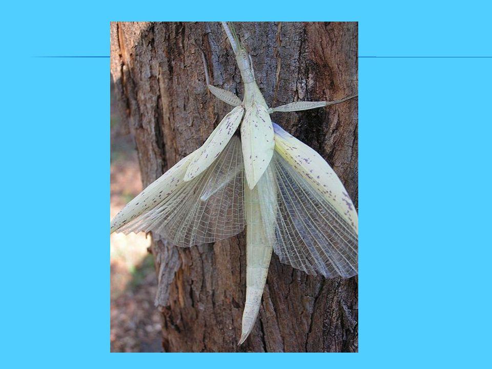 Mohou vypadat jako větvička, starý list nebo kus kůry a dokonale tak splývat s prostředím. - býložravý hmyz - hmyz velký 5–35 cm - žijí výhradně v tro