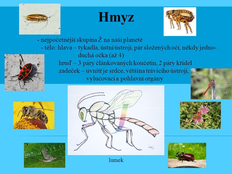 Hmyz - nejpočetnější skupina Ž na naší planetě - tělo: hlava – tykadla, ústní ústrojí, pár složených očí, někdy jedno- duchá očka (až 4) hruď – 3 páry článkovaných končetin, 2 páry křídel zadeček – uvnitř je srdce, většina trávicího ústrojí, vylučovací a pohlavní orgány lumek