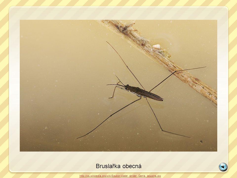 Bruslařka obecná http://cs.wikipedia.org/wiki/Soubor:Water_strider_Gerris_lacustris.jpg