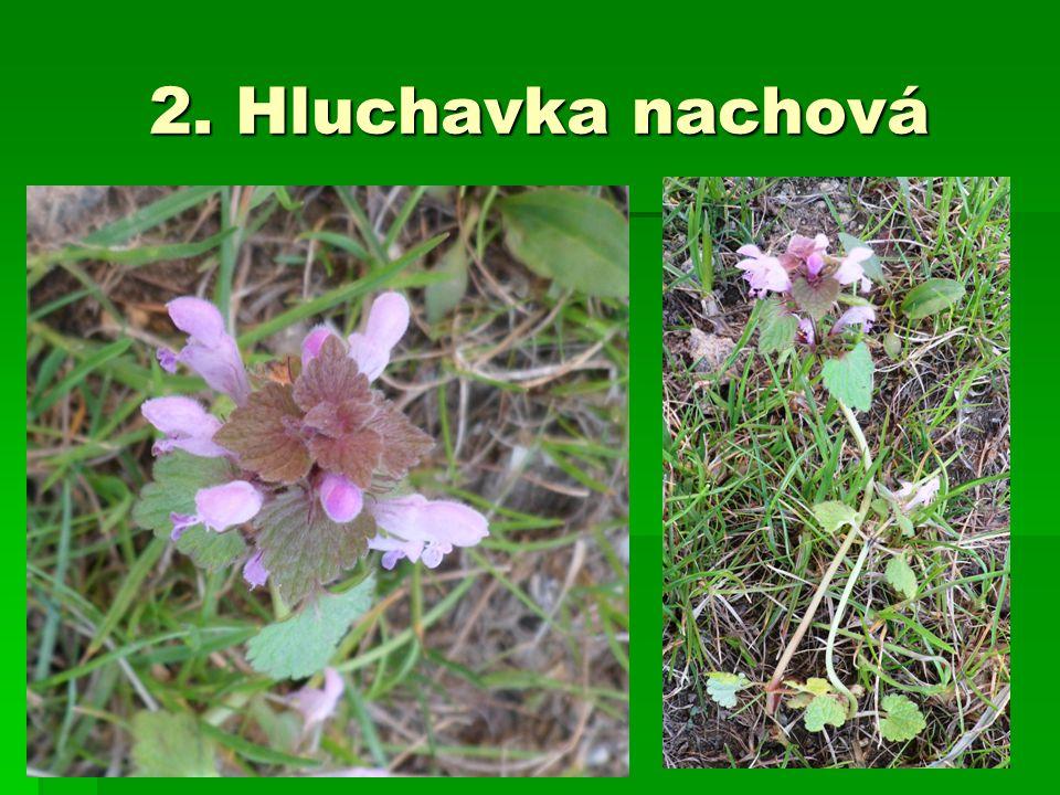 2. Hluchavka nachová