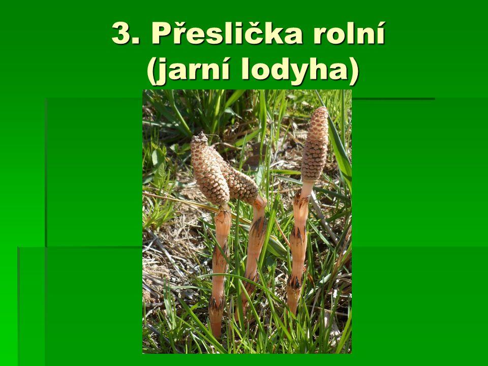 3. Přeslička rolní (jarní lodyha)