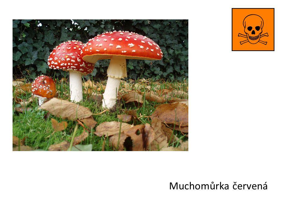Muchomůrka císařka jedna z nejvíce ceněných jedlých hub