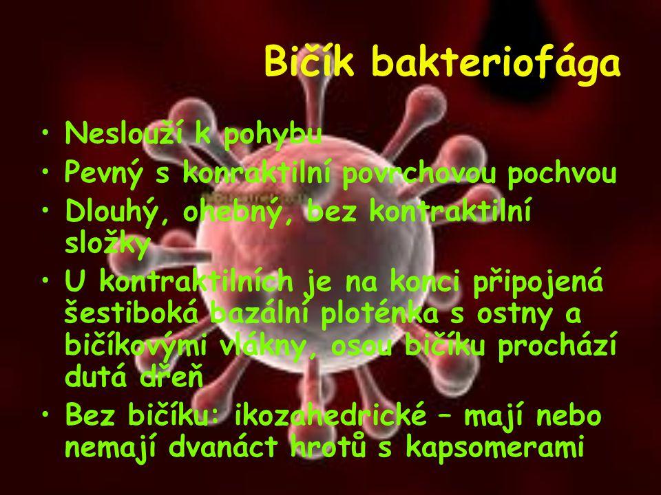 Bičík bakteriofága Neslouží k pohybu Pevný s konraktilní povrchovou pochvou Dlouhý, ohebný, bez kontraktilní složky U kontraktilních je na konci připo
